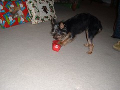 12/25/05 - My Parents' House: Lottie and Dad (mavra_chang) Tags: christmas family dogs animals chihuahuas christmas2005 maltese yorkshireterriers lottie christmasday christmasday2005 morkies