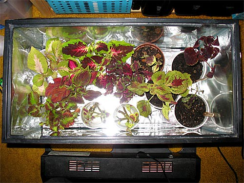 Coleus Cuttings Aquarium (Top View)