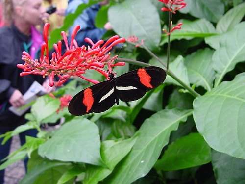 Black with Red Stripe Butterfly
