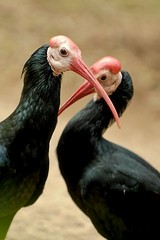 Crossing swords with the Bald Ibis, San Diego Wild Animal Park (tychay) Tags: portrait bird animals zoo day nikond70 outdoor wildlife beak nik sandiegowildanimalpark 70200mmf28gvr baldibis