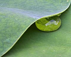Drop (konaboy) Tags: macro water garden leaf interestingness bravo lotus drop hidden 13186