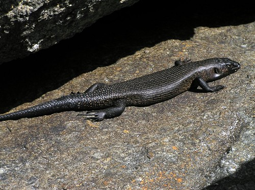 Griffins keel scaled tree skink