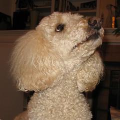 cleo01 (Czefir) Tags: poodle a610 cleo dog