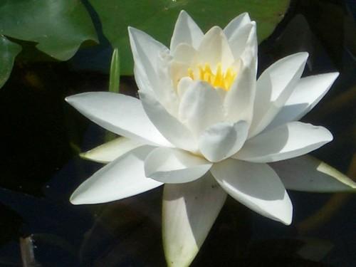 Lotus canadenc