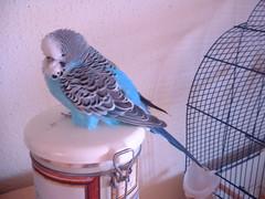 DSCF0013 (Da Spoon) Tags: australianparrot budgerigar bird budgie