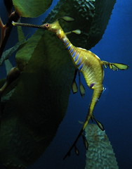 Sea Horse (arwriterphotog) Tags: ocean 15fav ilovenature aquarium seadragon seahorses greatsmokymountains amomentcaptured calendarshots gatlinburgtenn arwriterphotog