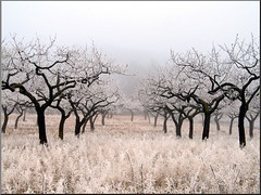 almonds and hoarfrost (Marlis1) Tags: fog spain bravo hoarfrost orchard catalonia catalua naturesfinest blueribbonwinner specland
