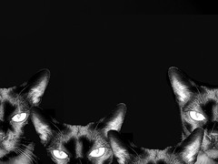 Only the paranoid survive (miss cleopatra) Tags: blackandwhite bw cats black cat wow wonder blackwhite interestingness eyes 100v10f 500v50f zo 300 burmese onlytheparanoidsurvive thisisgettingridiculous cat2000