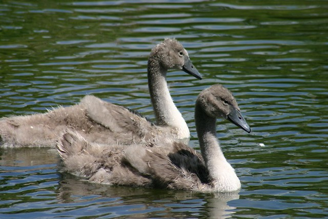 Mute Swan Signets