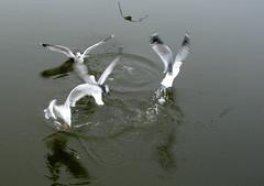 wing beats (salma1) Tags: birds rivers seagulls waterlife