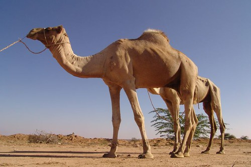 Camels on way to Hargeisa market