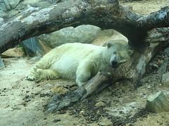 Alaska, The Baltimore Zoo Polar Bear