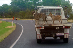 DSC03835 - dogs on truck (RaeAllen) Tags: dogs roadworks australia roadtrip ute newell narrabri newellhighway auspctagged pc2390