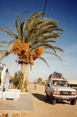 Date Palm - Tunisia - by Kaptain Kobold