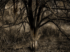 Scarred Trees: No. 002 (Ross's New Work) Tags: trees bw landscape mood iconographic