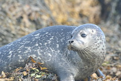 Baby Seal (Sara Richer) Tags: sea skye tag3 taggedout scotland tag2 tag1 seal
