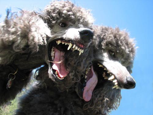 Thumb Foto de 2 Poodles poseídos por el Diablo