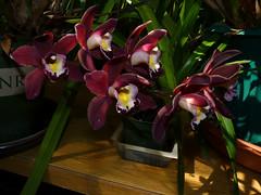 Cymbidium Mimi 'Mary Bea' hybrid orchid (nolehace) Tags: sanfrancisco orchid flower spring bea mary mimi bloom hybrid 415 cymbidium nolehace fz35