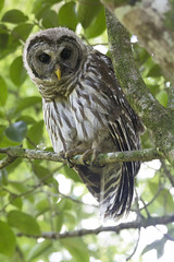 Barred Owl (DFChurch) Tags: wild tree bird nature animal florida outdoor wildlife feather swamp owl corkscrew barred strixvaria