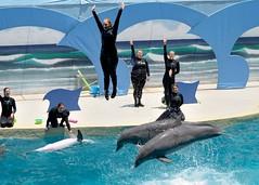 dolphinshow027 (BigPeteZ) Tags: world show park city sea beach water animal sport swim mammal nikon marine underwater gulf florida outdoor dolphin fl panama pcb panamacitybeach cetacean gulfworld gulfworldmarinepark