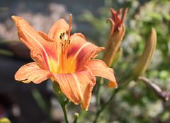 2015_42 (casirfm) Tags: flower macro closeup canon giugno fiore giglio 2015 casirfm canoneos1100d
