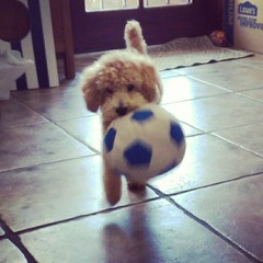 Soccer dog (RobinJP) Tags: arizona dog phoenix puppy miniature soccer kai poodle apricot worldcup pup pooch womensworldcup ussoccer miniaturepoodle