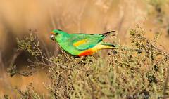 Mulga Parrot (chrissteeles) Tags: bird birding parrot sa southaustralia mallee mulgaparrot brookfieldconservationpark