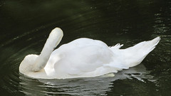 Beautiful swan pose, so elegant (zoekay) Tags: park trees white bird nature water swan pond birmingham suttoncoldfield suttonpark outsidespaces