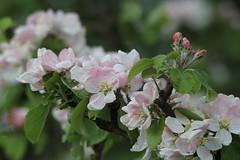Photo of Apple Blossom