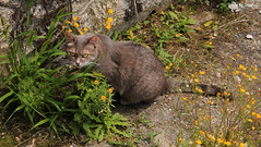 Min, go veg! (PurpleTita) Tags: flowers summer italy cats pets mountain nature cat canon torino italia estate natura piemonte fiori turin gatto montagna piedmont gatti animali vallidilanzo eos1100d