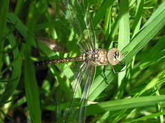 Aeshna juncea - L'schne des joncs - Common hawker ( A confirmer) -  29/06/15 (Philippe_Boissel) Tags: france europe insects savoie courchevel libellule 2061 odonata aeshnidae rhnealpes odonate commonhawker aeshnajuncea sedgedarner moorlandhawker schnedesjoncs lschnedesjoncs