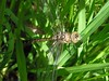 Aeshna juncea - Common hawker or Moorland hawker or Sedge darner ( A confirmer L' Æschne des joncs) -  29/06/15 (Philippe_Boissel) Tags: france europe insects savoie courchevel libellule 2061 odonata aeshnidae rhônealpes odonate commonhawker aeshnajuncea sedgedarner moorlandhawker æschnedesjoncs læschnedesjoncs