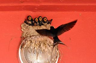 Hirondelle rustique - Barn Swallow (Hirundo Rustica)
