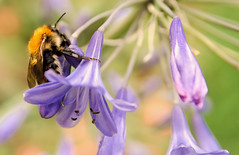 B  ( Explore ) (Jez22) Tags: blue copyright plant flower color nature floral garden insect flora colorful lily purple natural background fresh bee bumblebee lilac bloom mauve pollen bumble botany agapanthus perennial blooming pollinate africanus jeremysage