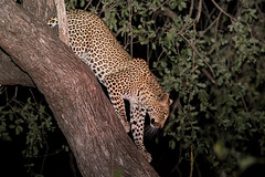 Whiskers at night (Thomas Retterath) Tags: africa animals tiere ngc leopard afrika predator mammals zambia carnivore bigfive lioncamp felidae pantherapardus sambia sugetier raubtiere specanimal southluangwavalley