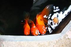 Finding some oxygen (jack-sooksan) Tags: fish water swim gold goldfish air move oxygen eat feed seek