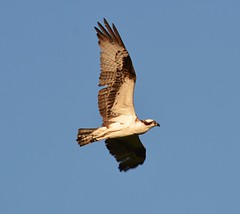 Osprey 1 (Braden Bygrave) Tags: sky ontario canada bird nature beautiful wings nikon flight osprey nikonphotography 55300mm nikond7100