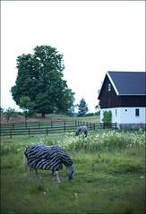 In Disguise (fotografier/images) Tags: leica summer horses horse nature zebra noctilux 095 larkollen