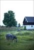 (Eline Lyng) Tags: horse horses zebra leica noctilux 095 nature larkollen summer 50mm afternoon leicam240 m m240 rangefinder manualfocus noctilux095 norway farm farmanimal