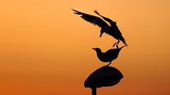 Gaviotas al amanecer. (jesusgag) Tags: gaviotas seagull seagulls gaviota mouette mouettes sailsevenseas elitegalleryaoi bestcapturesaoi coppercloudsilvernsun goélands goéland