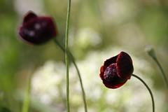 Çanakkale Şehitlerine (halukderinöz) Tags: gelincik poppy çanakkale gallipoli çiçek doğa nature flower ankara güvercinlik canoneos40d eos40d hd