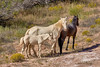 A Peaceful Family Affair (W_von_S) Tags: horses pferde wildpferde wildhorses indianerpferde indianhorses natur nature animals wvons werner sony outdoor usa utah us america amerika southwest südwesten wildlife
