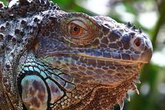Legavane (Clint Mason) Tags: southafrica animal reptile legavane eye macro closeup natureupclose