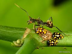 Treehoppers, Stilbophora sp. & tending ant (Ecuador Megadiverso) Tags: andreaskay ecuador ant formicidae hymenoptera id266 membracidae treehopper stilbophorasp idbydougyanega