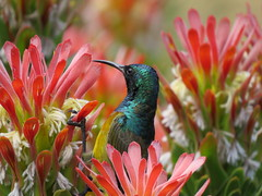 IMG_5224 (Marko_J_Aho) Tags: anthobaphesviolacea bird capetown kapinmedestäjä kirstenbosch orangebreastedsunbird southafrica