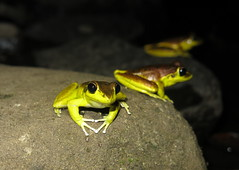 Stony Creek Frog (Litoria wilcoxi) (Heleioporus) Tags: stony creek frog litoria wilcoxi near casino new south wales