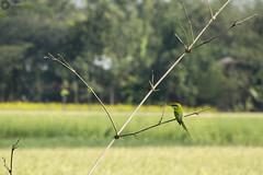 Green bee Eater Bird / সবুজ সুঁইচোর পাখি (Manzur Ahmed) Tags: green bee eater সবুজ সুঁইচোর পাখি bird wildlife bokeh baroharishpur natore bangladesh nikon d7100 18140 january 2017 outdoor