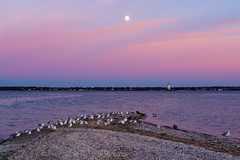Wildlife (E. Aguedo) Tags: sunset wildlife lighthouse light moon bird seagulls water providence river warwick conimicut park ngc new england