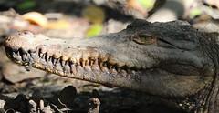 Smile!! (Thanks for over 2 million views!!) Tags: americancrocodile crocodile reptile canoneosrebelt5 macro animal wildlife macrophotography chadsparkesphotography honduras roatanhonduras platinumheartaward