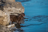 Vison d'Amérique / American Mink [Neovison vison] (Curculion) Tags: visondamériqueamericanminkneovisonvison eutheria rivièrerichelieu mammalia chordata québec saintjeansurrichelieu theria mustelidae pentaxk1 tetrapoda canada montérégie lehautrichelieu carnivora smcpentaxfa250600mmf56edif carnivorans carnivores mammals mammifères mustelavison mustélidés pentaxsmcpfa250600mmf56edif qc weasels ca